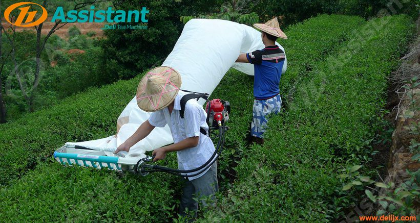 Backpack Type Srilanka Tea Leaf Harvester Plucking Picking Machine China Supplier 4C-S