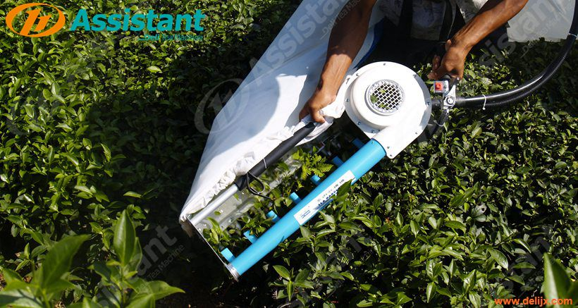 When Is The Best Time To Pick Tea? How To Use Tea Leaf Plucking Machine ?